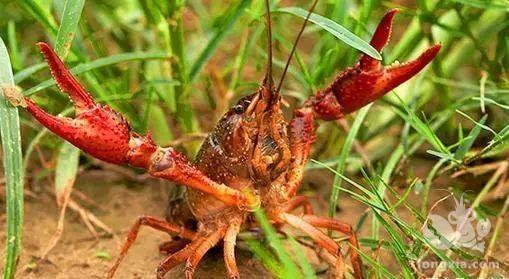 小龙虾高温缺氧是什么原因?如何预防?