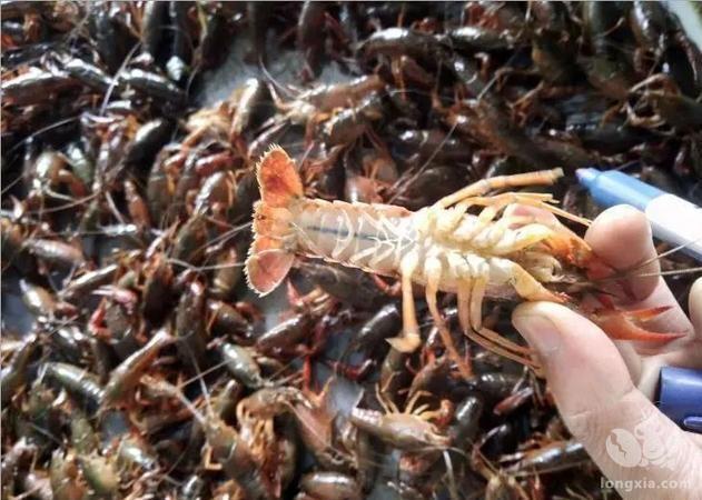池养龙虾产量低的原因及对策分析