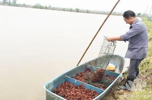 """龙虾养殖:梅雨季节小龙虾要格外""""照顾"""""""