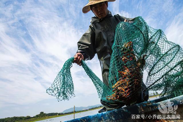 池塘小龙虾高产技术全方位探析,这样养殖收益多