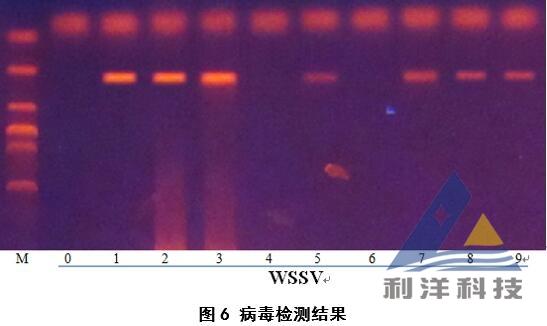 小龙虾感染白斑综合征病毒,杀虫后加重死亡
