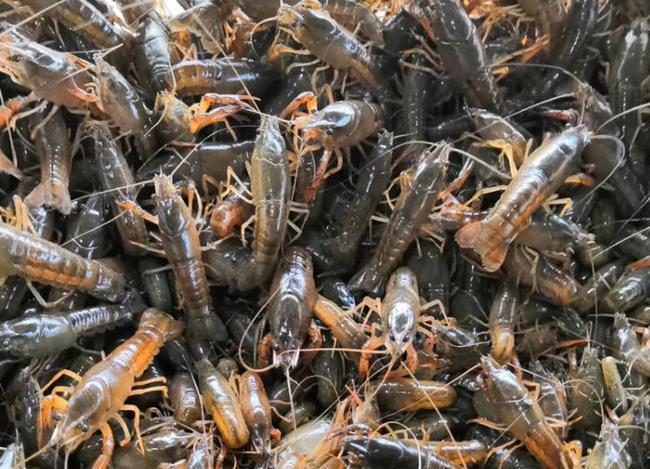 浅析小龙虾产业中的几个重大问题