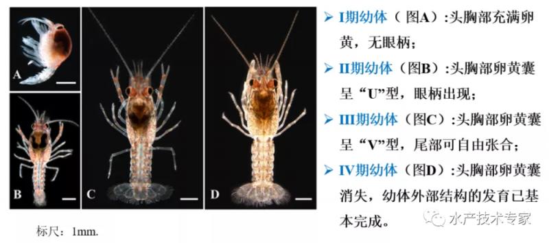 """浅析小龙虾产业中的几个重大问题—小龙虾养殖的""""苗种""""问题"""