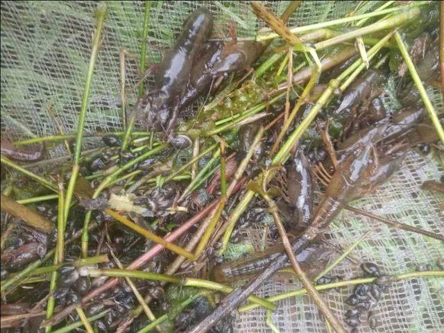辟谣:小龙虾养殖,种苗是捕大留小?还是捕小留大?要看具体情况