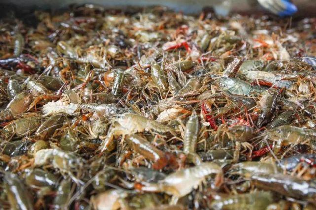 三足鼎立的小龙虾产区,监利和蜀国一样,一手好牌却输得最早