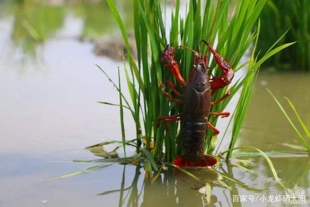 小龙虾养殖过程中,使用药品种类以及条件是什么?如何管理?