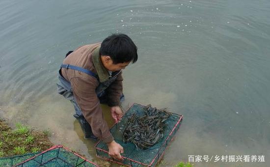 水产养殖:小龙虾可以怎么养?小龙虾的混养方式