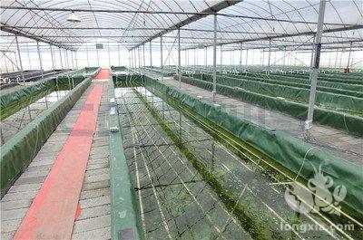 大棚小龙虾的养殖方法