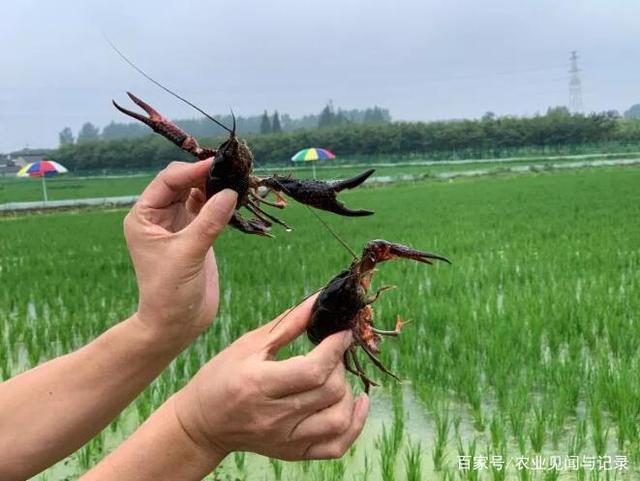 """6月初投苗,45天成""""两虾"""",第二茬""""稻中虾""""如何养殖?"""