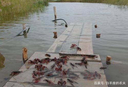 小龙虾养殖突现大量死虾是什么原因?看看这几点