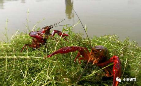 小龙虾养殖模式分析小龙虾养殖模式分析